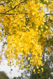 Cassia fistula flower Royalty Free Stock Images
