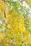 Cassia fistula flower Royalty Free Stock Photo