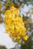 Cassia fistula flower Stock Photos