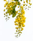 Cassia fistula flower. Cassia fistula flower isolated on white background royalty free stock images