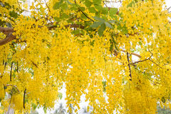 Cassia fistula flower Stock Photography