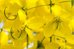 Cassia fistula flower. Royalty Free Stock Image