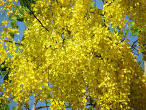 Cassia fistula flower or golden shower flower bright yellow full bloom in summer. Ratchaphruek flower was named Thailand and Thailand`s national flower Stock Image