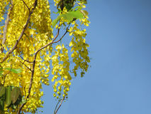 Cassia fistula flower or golden shower flower bright yellow full bloom in summer. selective focus. Cassia fistula flower or golden shower flower bright yellow Stock Image