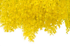 Cassia fistula flower Royalty Free Stock Photos