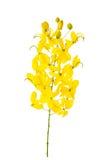 Cassia fistula flower isolated on white background Royalty Free Stock Photos