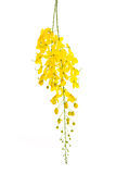 Cassia fistula flower isolated on white background Stock Images