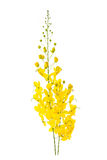 Cassia fistula flower isolated on white background Royalty Free Stock Photography