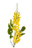 Cassia fistula flower isolated on white background Stock Image