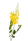 Cassia fistula flower isolated on white background Royalty Free Stock Images