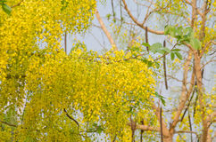 Cassia fistula flower Stock Images