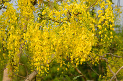Cassia fistula flower. National flower of Thailand Royalty Free Stock Photography