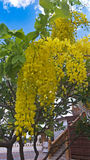 Cassia fistula flower. In temple Royalty Free Stock Photo