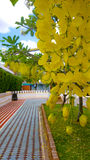 Cassia fistula flower. In temple Stock Images