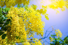 Cassia fistula flowers , Golden shower  on blue sky. Royalty Free Stock Photography