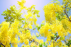 Cassia fistula flowers , Golden shower  on blue sky. Royalty Free Stock Photos