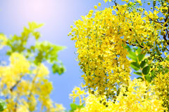 Cassia fistula flowers , Golden shower  on blue sky. Cassia fistula flowers , Golden shower  on blue sky Stock Image