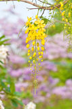 Cassia fistula flowers Stock Photos