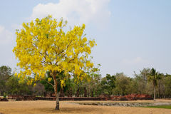 Cassia fistula folwer. Royalty Free Stock Image