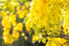 Cassia fistula in the garden.Copy space royalty free stock photography