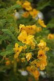 Cassia fistula. Or Golden Rain flower native to Vietnam and South East Asia stock photo