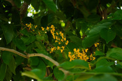 Cassia fistula. Golden shower that just start blooming Royalty Free Stock Photography