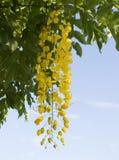 Cassia fistula or Golden shower. National flower of Thailand Stock Image