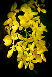 Cassia Fistula Royalty Free Stock Photography