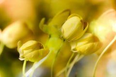 Cassia Fistula Stock Images