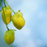 Cassia Fistula Royalty Free Stock Images