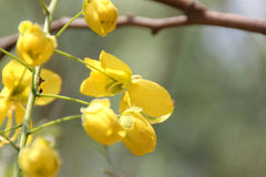 Cassia fistula,  golden shower tree, Amaltas Stock Photography