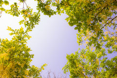 Cassia fistula. Golden shower tree (Cassia fistula) with blue Stock Photo