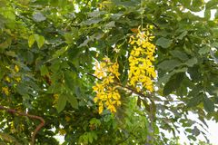 Cassia fistula.Golden Shower Tree Stock Images