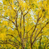 Cassia fistula or golden shower tree Stock Images