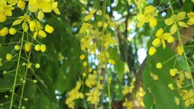 Golden shower tree flowers panning high definition. Cassia fistula or golden shower tree yellow flowers, panning panoramic high definition stock footage video stock video