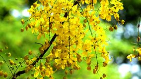 Cassia fistula -kanikonna flowers. In the tree. Sithra kani poo in tamil language. This flower is blossom on the April to May month. Mostly kerala peoples using royalty free stock image