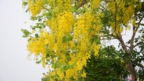 Cassia fistula known as the golden shower tree stock footage