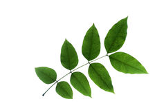 (Cassia fistula L.), leaf form and texture Royalty Free Stock Photo
