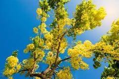 Cassia fistula Linn o Ratchaphruek in Tailandia, Asia immagine stock libera da diritti