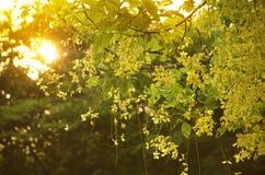 Cassia fistula. With orange sunset Royalty Free Stock Photo