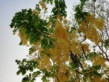 Elephants Trunk or Pea Flower, Golden rain tree, or Amaltas. Cassia fistula plant tree garden The golden shower tree is a medium-sized tree, growing to 10–20 m Stock Photo