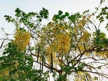 Elephants Trunk or Pea Flower, Golden rain tree, or Amaltas. Cassia fistula plant tree garden The golden shower tree is a medium-sized tree, growing to 10–20 m Stock Image