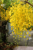 Cassia fistula. Ratchaphruek is a medium-sized tree with a height of 10-20 meters long, with a bouquet of flowers, a beautiful yellow Royalty Free Stock Image