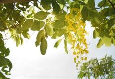 Cassia fistula tailandese Immagini Stock Libere da Diritti