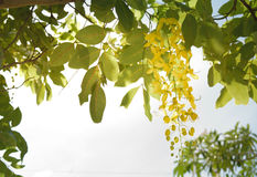 Cassia fistula thai. Cassia fistula is the scientific name of Golden shower Royalty Free Stock Images