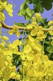 Cassia fistula Royalty Free Stock Photography