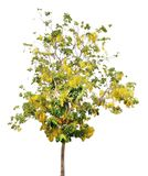 Cassia fistula tree. Golden Shower Tree. Fabaceae. Caesalpinioid. Eae. Plant. isolated on white background Stock Images