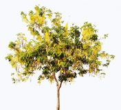Cassia fistula tree. Golden Shower Tree. Fabaceae. Caesalpinioid. Eae. Plant. isolated on white background Royalty Free Stock Images