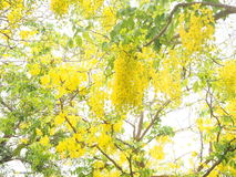 Cassia fistula. Yellow flower on tree at the garden Stock Image