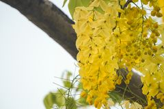 Cassia fistulagolden shower tree, mostly blooming in summer May days. It`s also the national flower of Thailand.  Royalty Free Stock Photos
